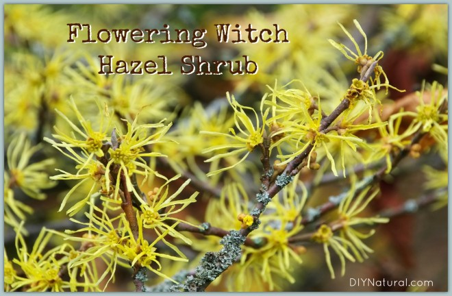How-to-Make-Witch-Hazel-1-660x432